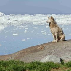 Greenland dog sitting in front of the Illulisat icefjord