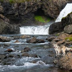 Alaskan Husky standing near the waterfall, Iceland