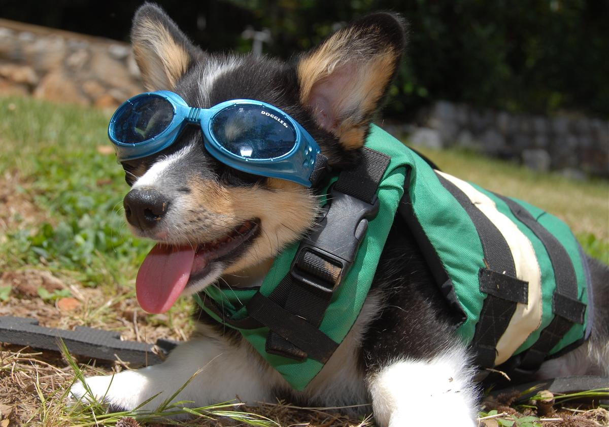 Dog in a life jacket and doggles