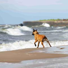 Belgian Shepherd dog Malinois playing with the waves at seaside