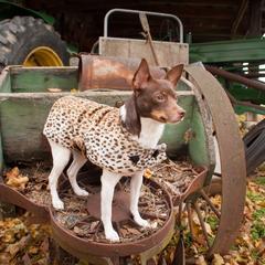 Rat Terrier in a Leopard Print Coat