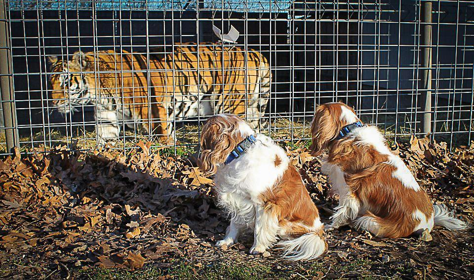 Two spaniels pose near a tiger.