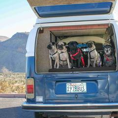 Pugs Line the Back Window of a Bus