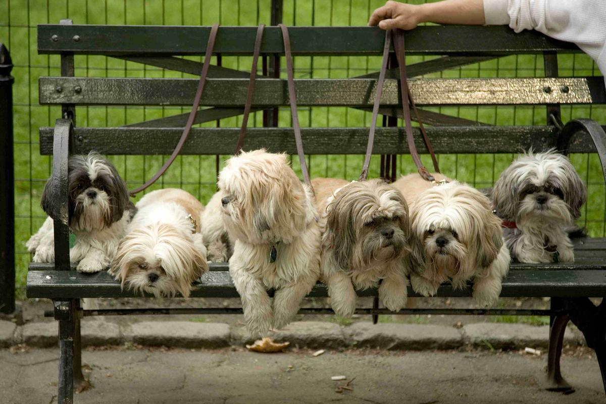 Shih Tzus on a Bench