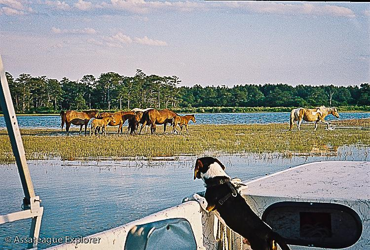 Dog Rides a on a Boat While Watching Horses