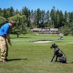 Dog Watches His Owner Golf