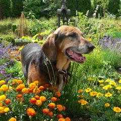Dog Stands in a Bed of Colorful Flowers