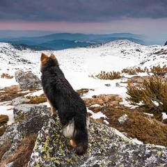 Shepherd Checking out the View