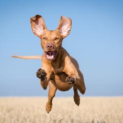 Vizsla Leaps Through the Air