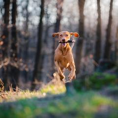 Vizsla Leaps Through the Air with a Stick