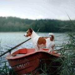 Jack Russell Terrier Stands in a Boat
