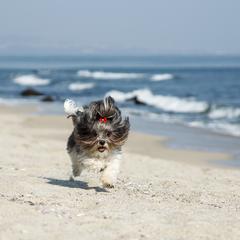 Havanese Runs on the Beach