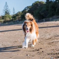 Scottish Shepherd Runs on the Beach