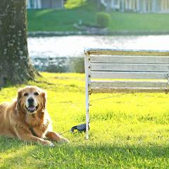 Golden Retriever Lies Next to a Park Bench