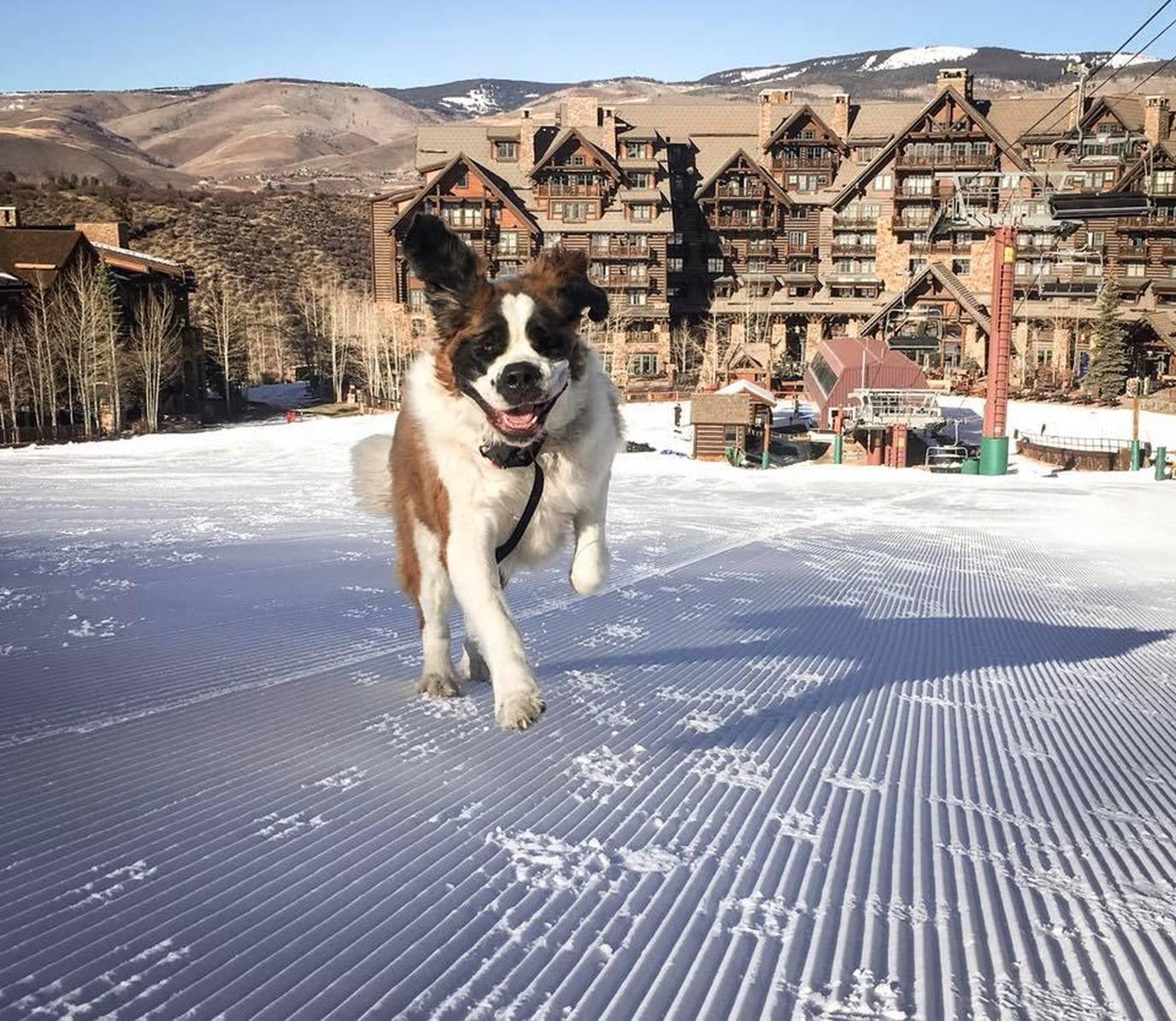 The Ritz Carlton, Bachelor Gulch is a pet-friendly resort with a human-friendly mascot!