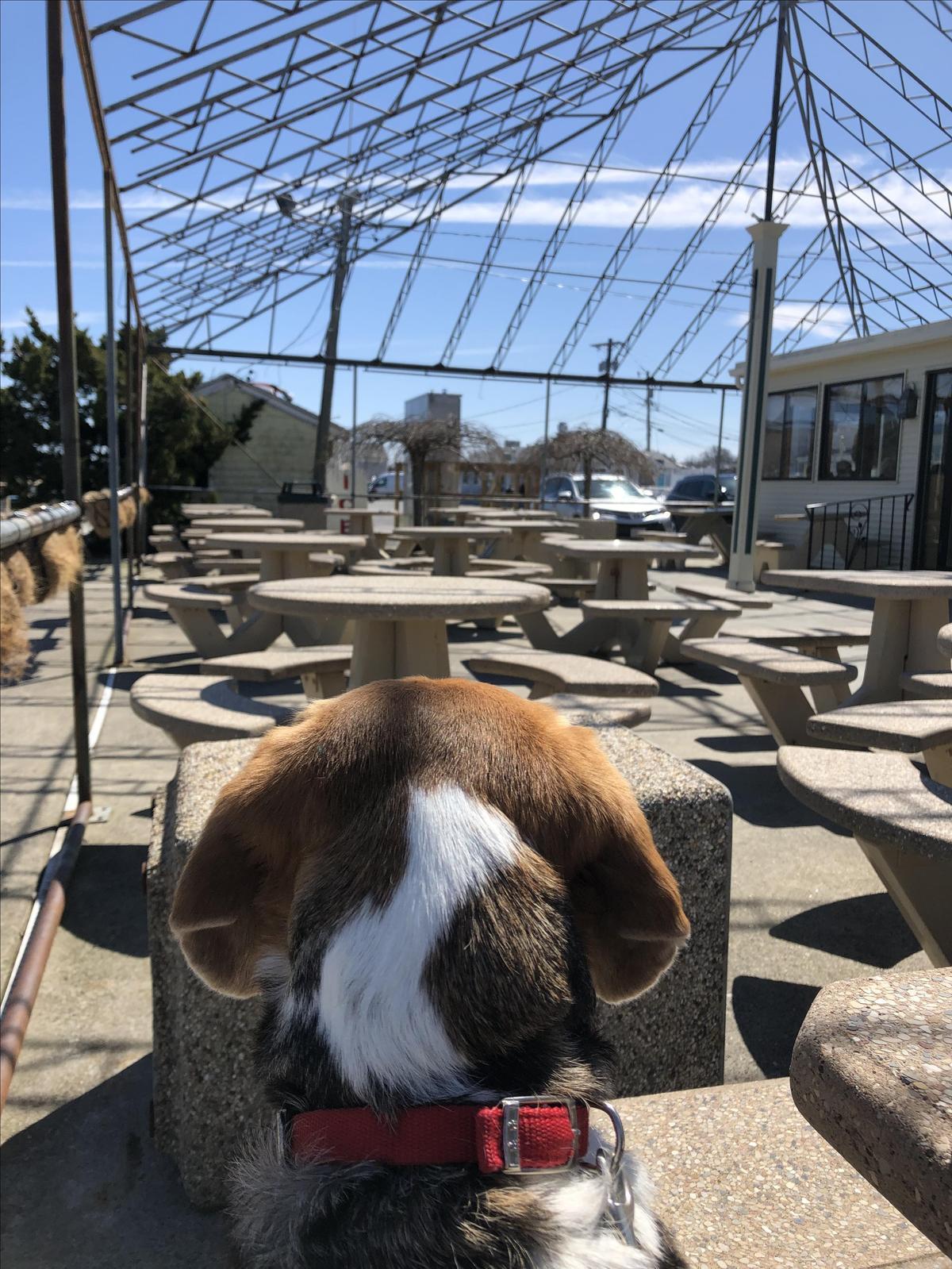 Barkley the beagle