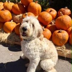 Pip At The Pumpkin Patch