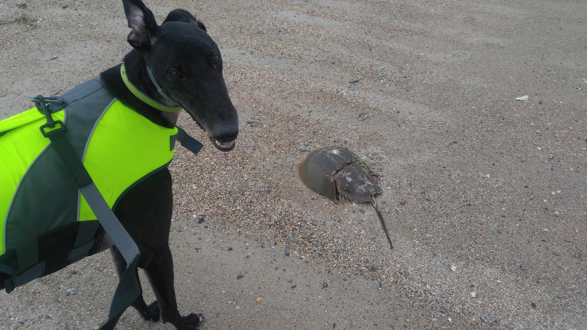 Dale Meets Horseshoe Crab