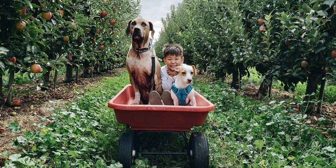 Take your dog to a pet-friendly orchard to pick apples this fall.