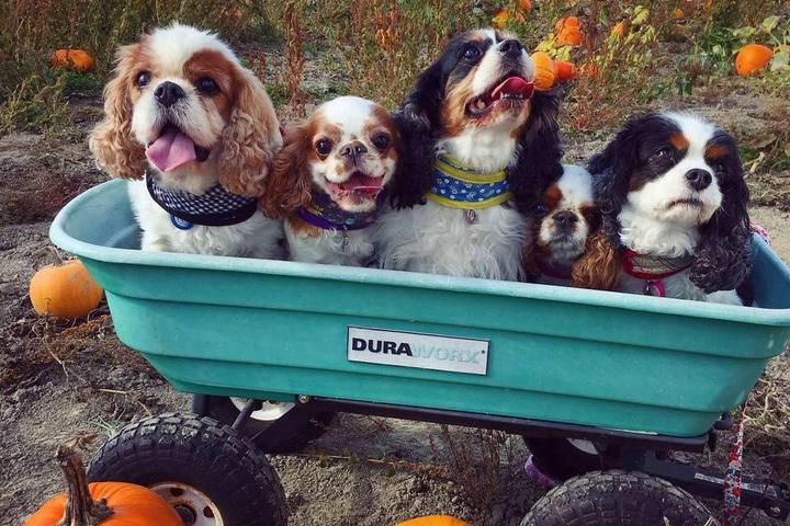 Four dogs hanging out at a pet-friendly pumpkin patch and corn maze in Arlington, WA.