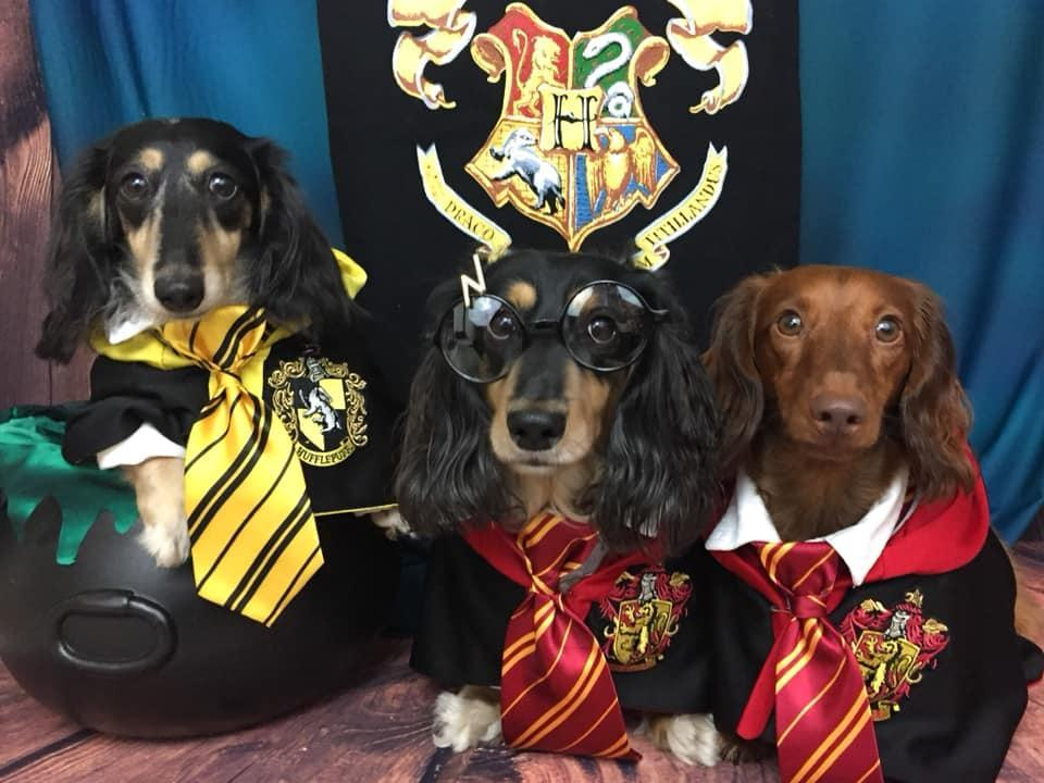 Three Dachshunds Dress in Halloween Costumes as Pawgwarts Students.