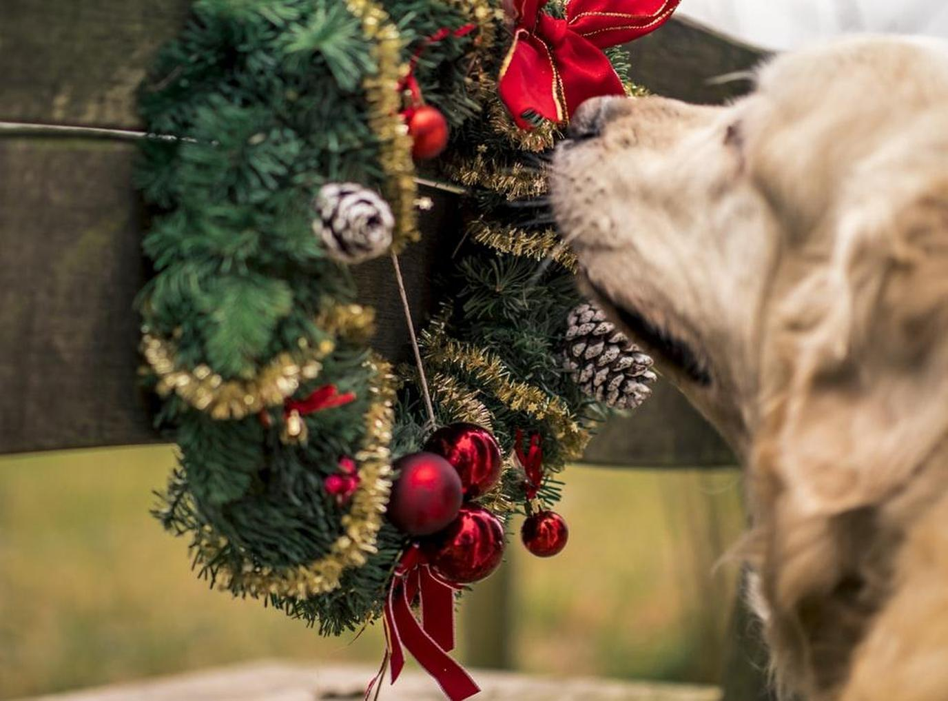 Keep your pet safe around Christmas decorations. Stay at a pet-friendly hotel!