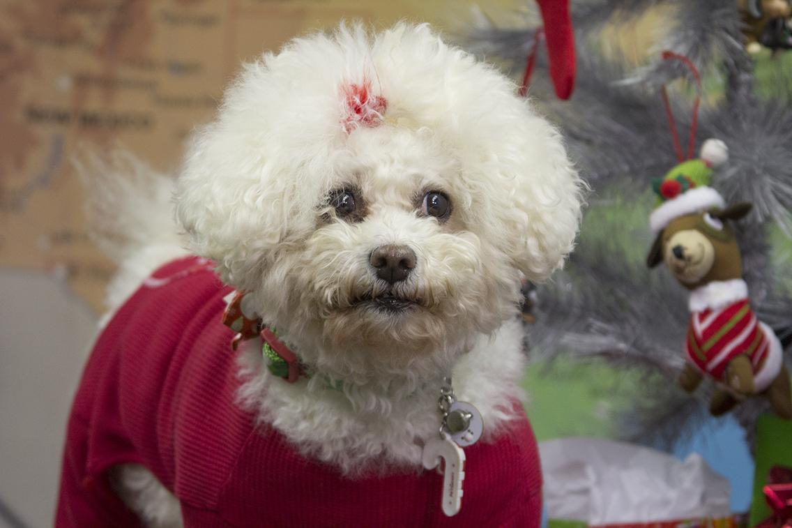 A Bichon Frise in an ugly Christmas sweater.