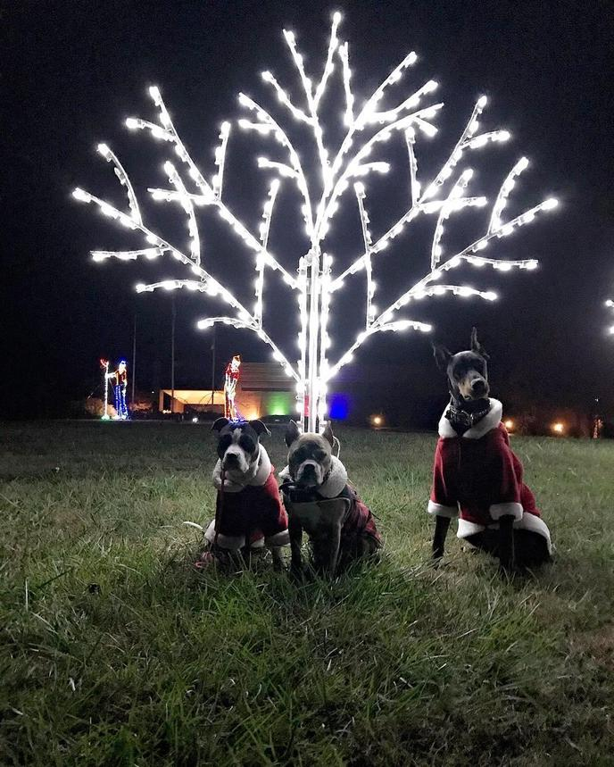 Three Dogs in Christmas Costumes Stand in Front of a Christmas Light Display.