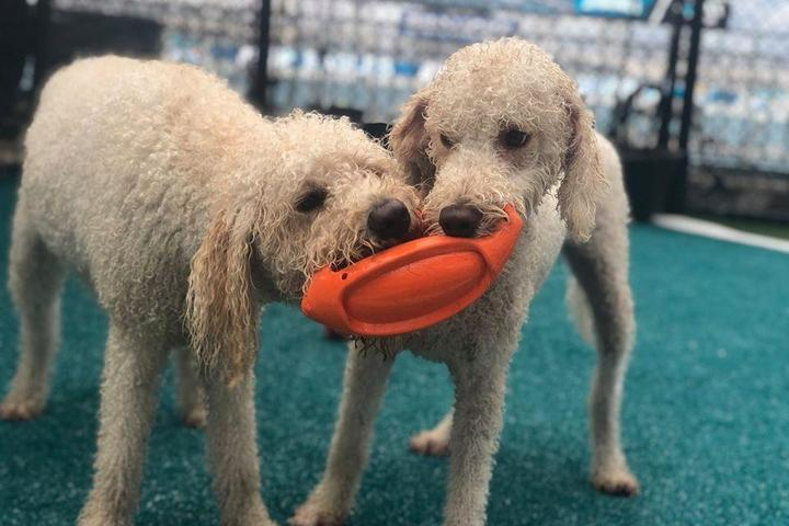 Two dogs play at the NFL's first dog park.