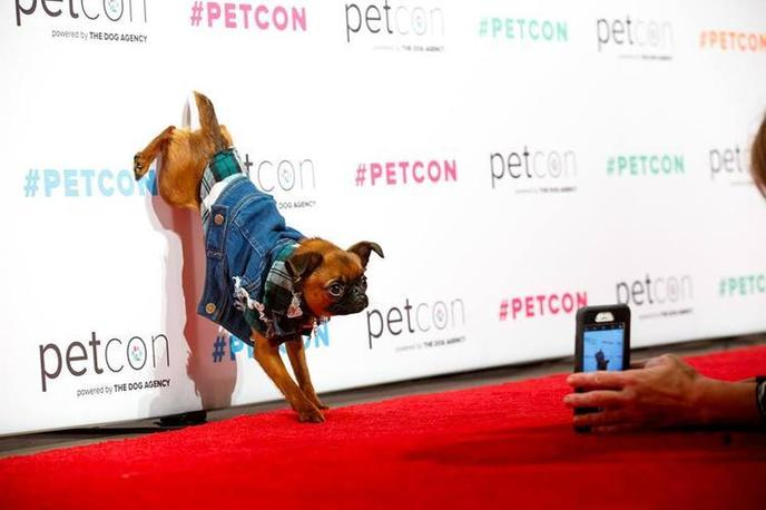 A Brussels Griffon Poses at PetCon, A Dog-Friendly Event in NYC.