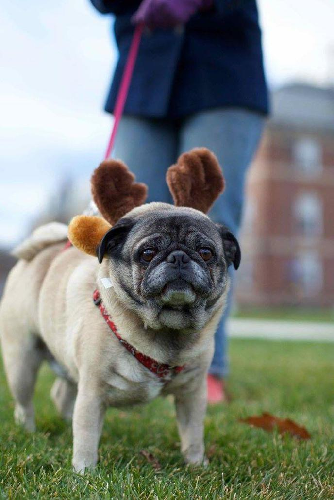 A Pug Wearing Reindog Antlers Prepares to Walk at the Pet-Friendly Williamstown Holiday Walk.