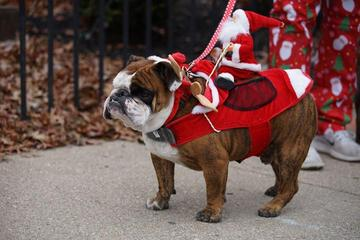 A Bulldog Wears A Santa on His Back at a Pet-Friendly Parade in Cincinnati.