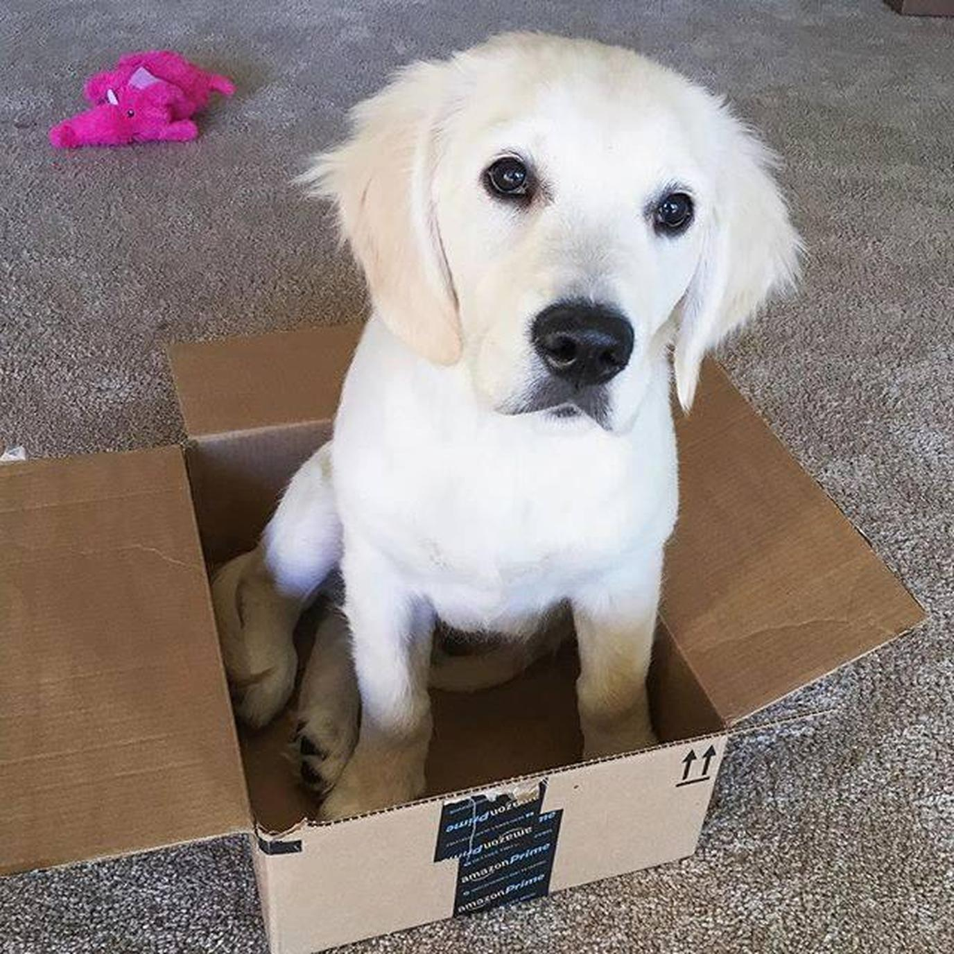 A Puppy Sits in an Amazon Box.
