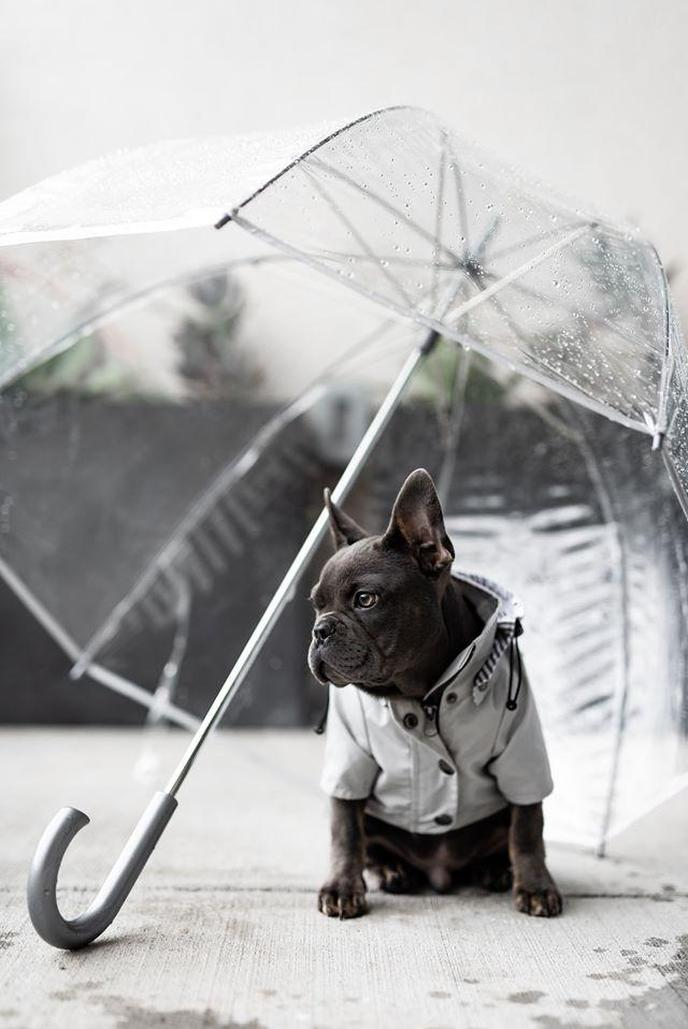 Frenchie Sits Under an Umbrella Wearing a Coat He Bought From Ellie's Black Friday Deal for Dogs.