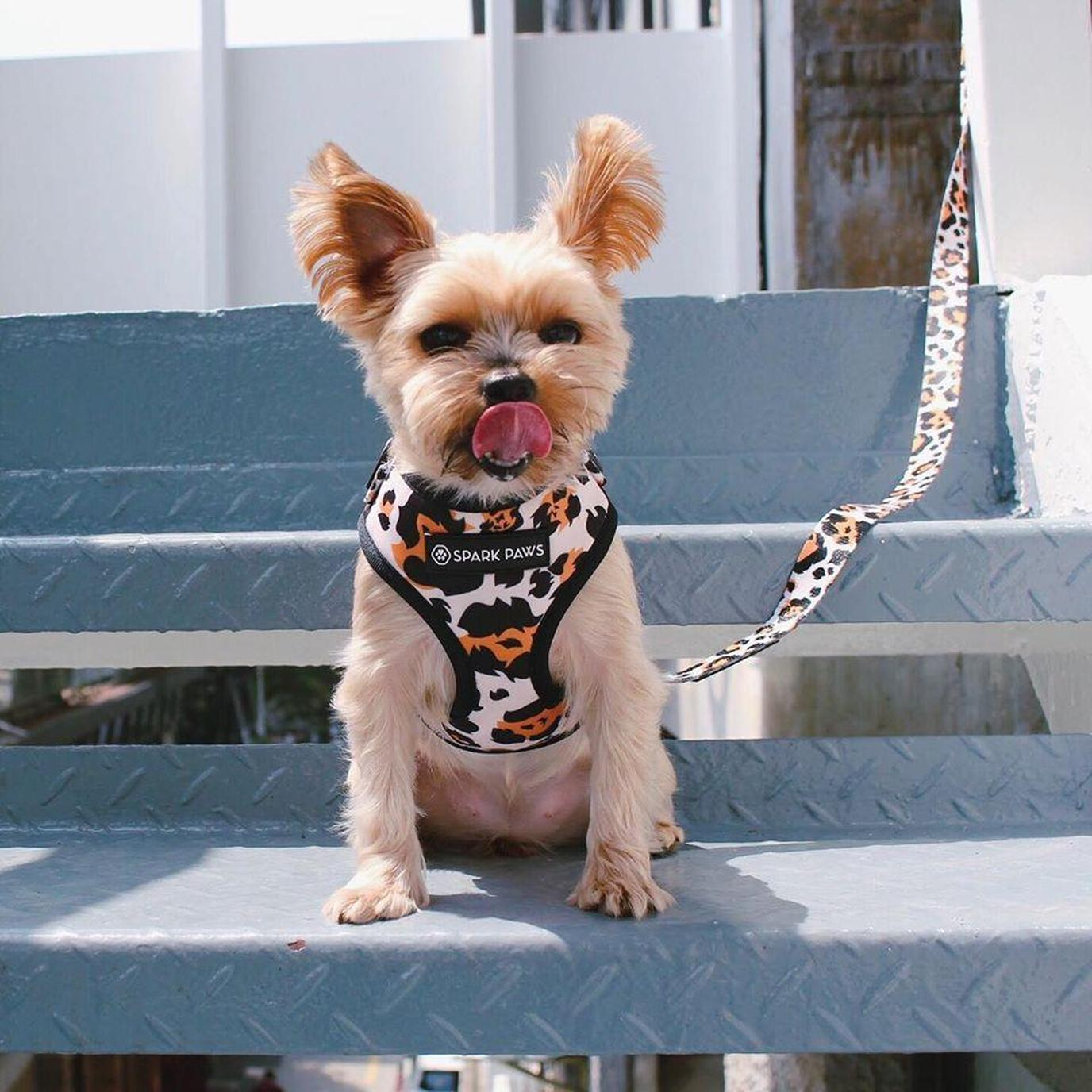 A Yorkie Wears a Spark Paws Leopard Harness Purchased From a Black Friday Deal for Dogs.