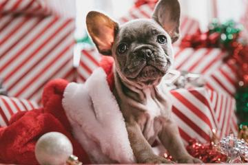 A Frenchie Sits Among Christmas Gifts for Dogs.
