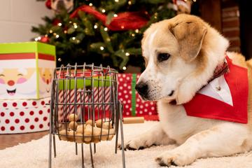 "A Dog Stares at a Bingo Cage Used for BringFido ""Howliday"" Bingo."