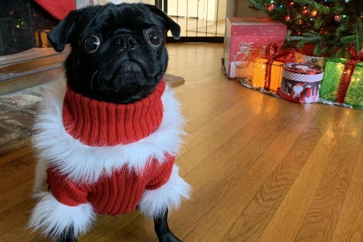 A Pug in a Christmas Sweater.