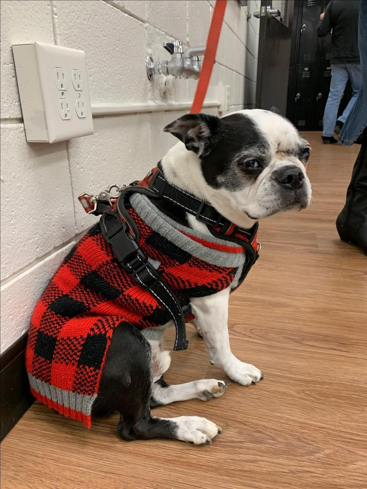 A Boston Terrier wearing an ugly Christmas sweater