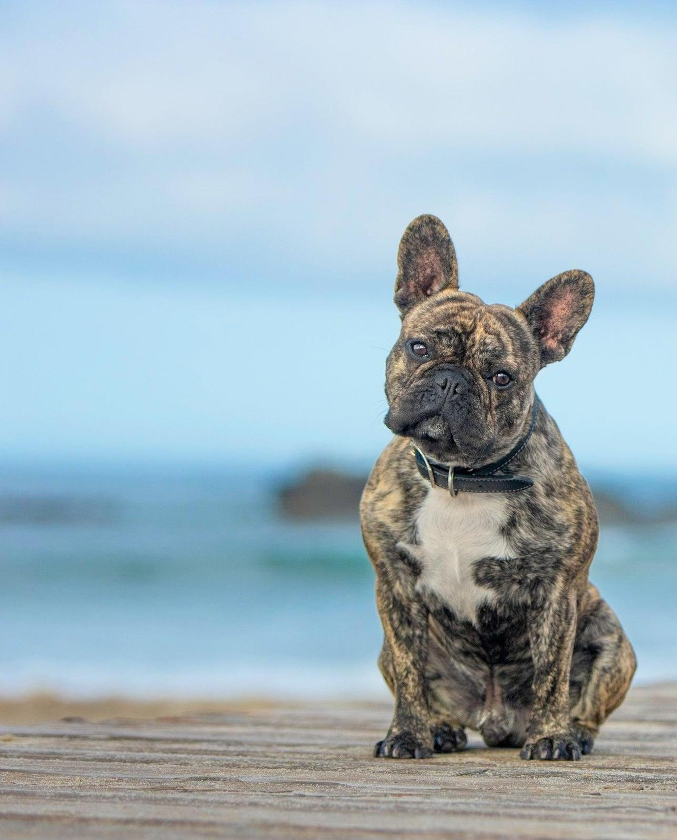A French Bulldog Sits for a Portrait During a Pet-Friendly Airbnb Experience in Orange County.