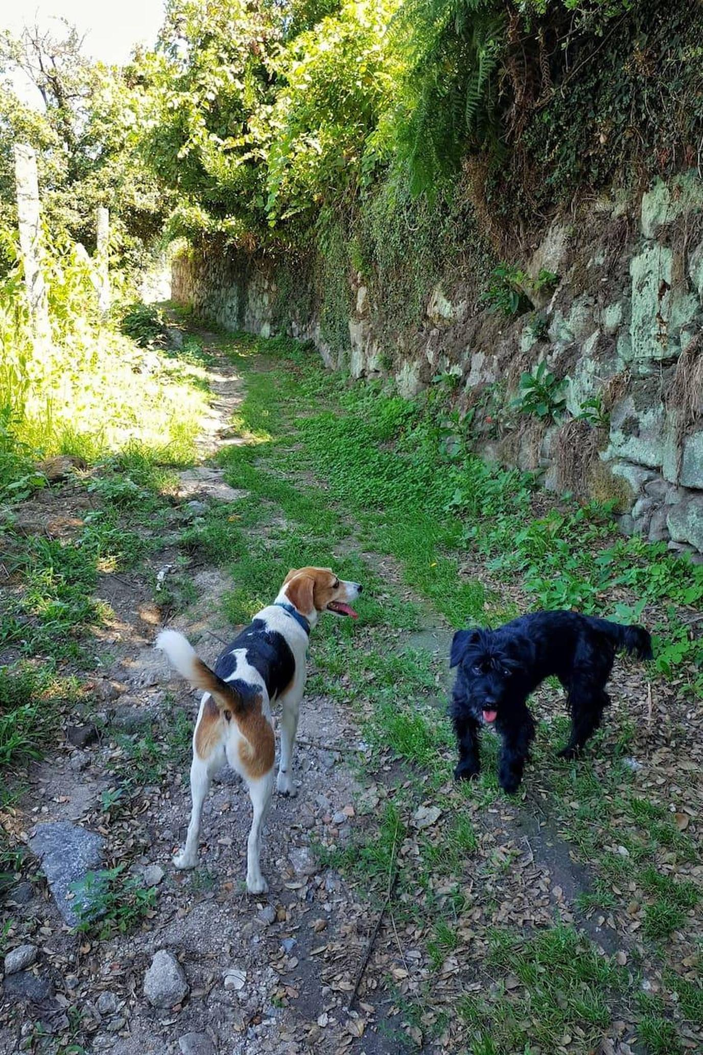 Two Dogs Walk Along a Verdant Path During a Pet-Friendly Airbnb Experience in Santo Tirso.