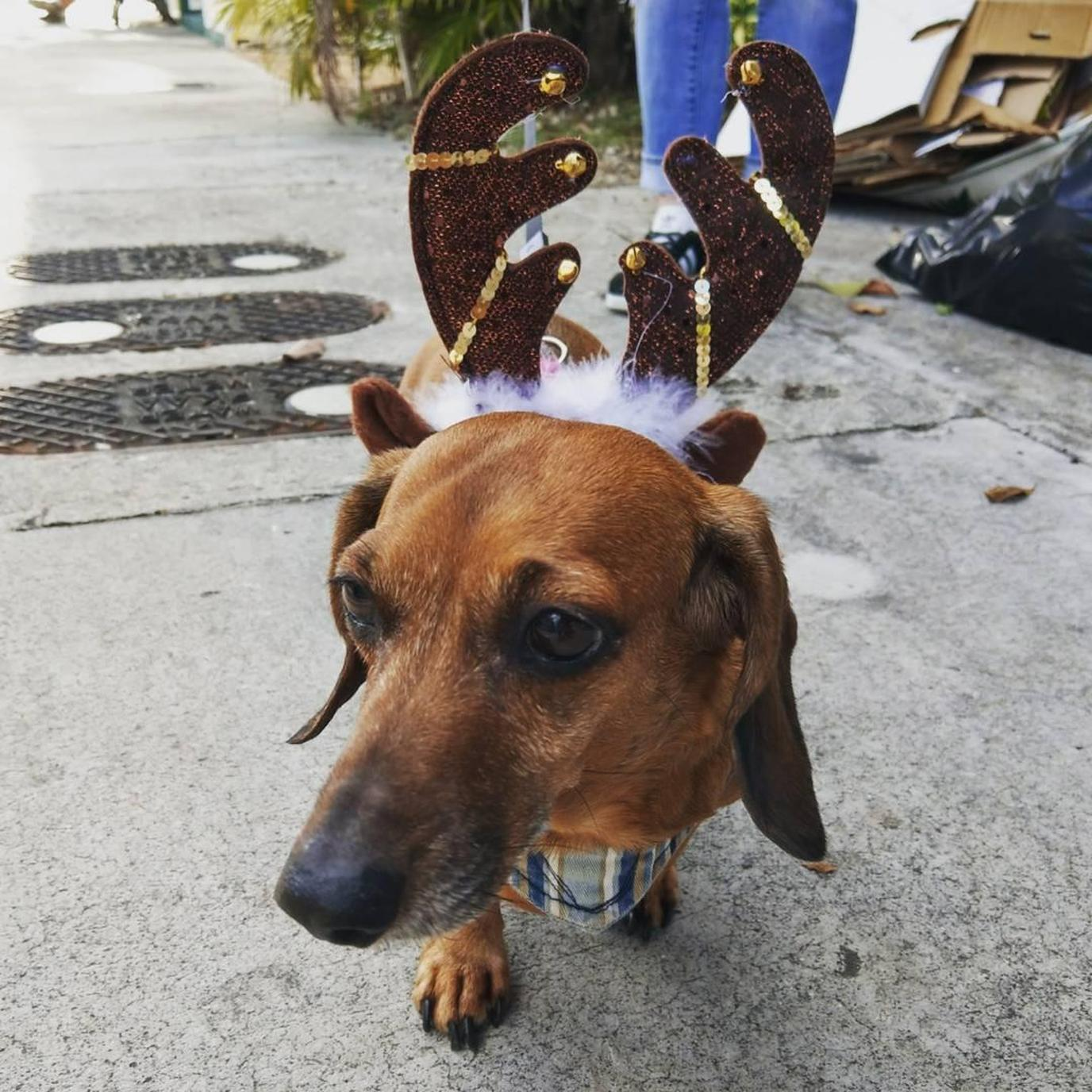 A Dachshund Wears Reindog Antlers at the Key West Dachshund Walk.