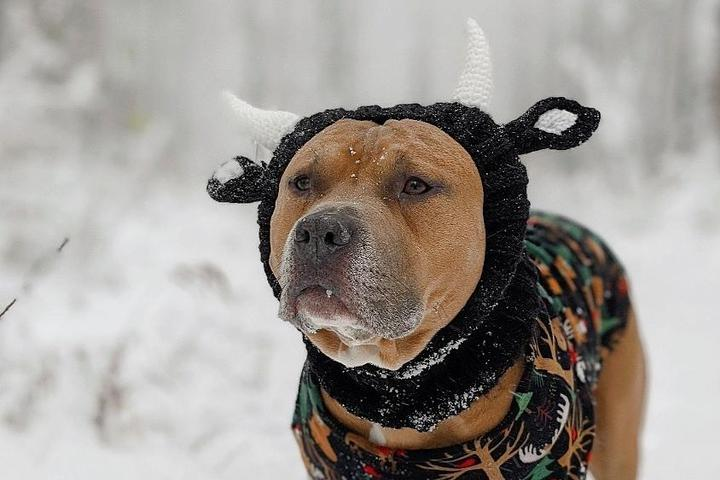 A Brown Pitbull Wears a Knitted Snood Hat With Antlers While Standing in the Snow.