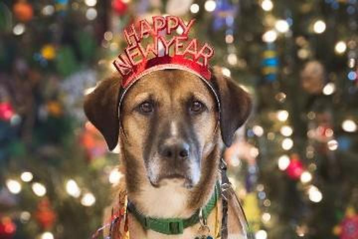A Dog Wears a Happy New Year Crown While Standing in Front of a Christmas Tree.