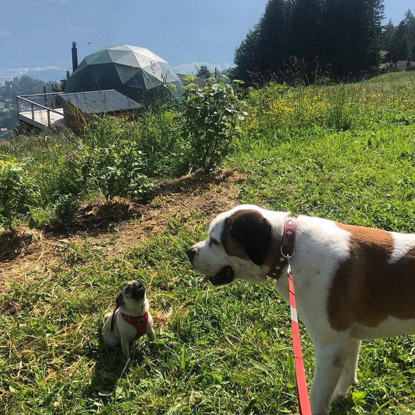 During the summer, dogs are permitted at Whitepod Eco Luxury Hotel in the Swiss Alps.