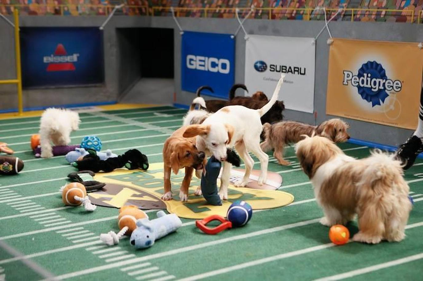A Group of Dogs Play During the Puppy Bowl.