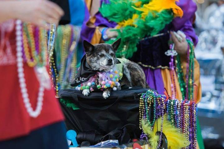 A Dog Sits on a Mardi Gras Float Strung With Mardi Gras Beads.
