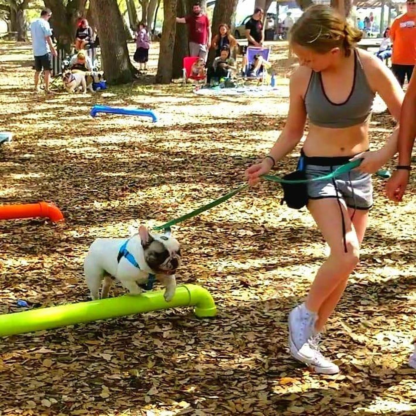A French Bulldog Jumps Over a Short Pipe at the Bullympics in Hollywood.