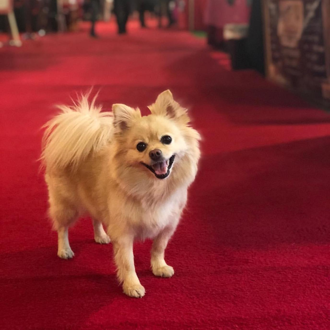 A Pomeranian Stands on a Red Carpet at a Pet-Friendly Event in Wisconsin.