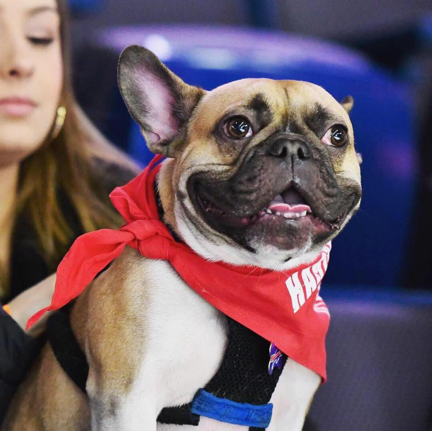 A Pug Wears a Red Bandanna at a Dog-Friendly Hockey Game in Connecticut.